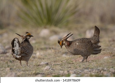Two Lesser Prairie-Chickens display on their booming grounds on a spring evening.