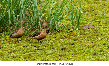 Two Lesser Whistling Ducks wading on a field of water lettuce, looking into a distance