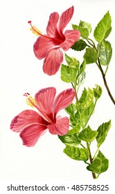 Two Light Red Hibiscus Flowers.  Watercolor hand painted illustration painting of red tropical flowers on a white background.