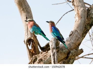 two lilac breasted rollers on a tree - national park masai mara in kenia