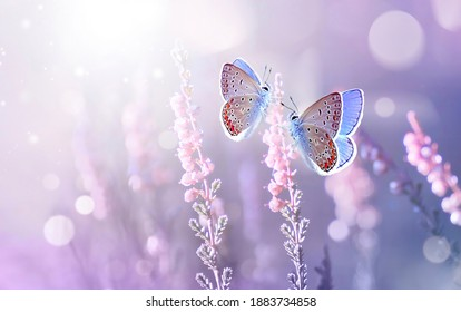 Two lilac butterfly on Lavender flowers in rays of summer sunlight in spring outdoors macro in wildlife, soft focus. Delightful  amazing atmospheric artistic image of beauty of nature environment.