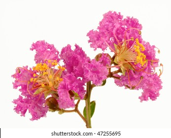 Two lilac crepe myrtle flowers, isolated over white background