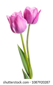 Two lilac spring flowers. Tulips isolated on white background