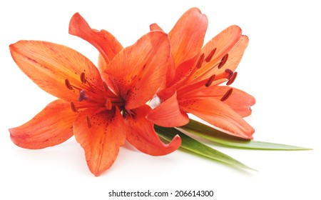 Two lilies isolated on a white background