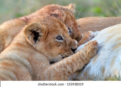 Two Lion babies drinking milk from their mother in the Serengeti, Tanzania