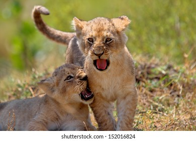 Two Lion babies from Marsh Pride playing, they are 4 weeks, Mother: Jicho, Masai Mara, Kenya