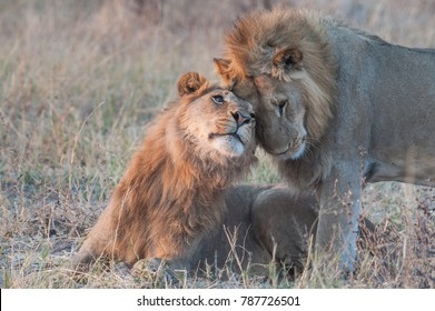 Two lion brothers in very early morning light. Botswana.