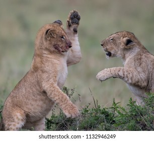 Two lion cube playing after feeding at a kill site in Masai Mara Game Reserve, Kenya