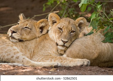 Two lion cubs resting on each other's bodies in Botswana