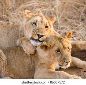 Two lion cubs. Victoria Falls, Zimbabwe