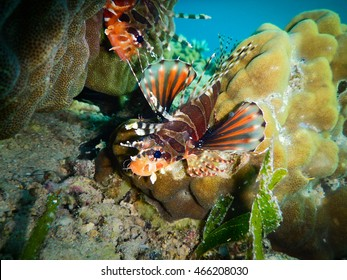 Two Lion fish on coral