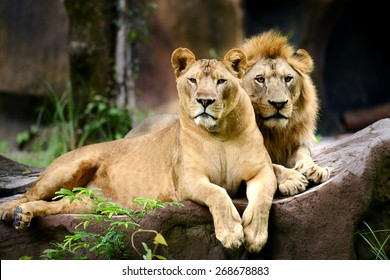 Two Lion in forest and face looking to camera