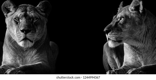 Two lioness deserted. One looking ahead and the other looking at the other. Photo of the animal world.
