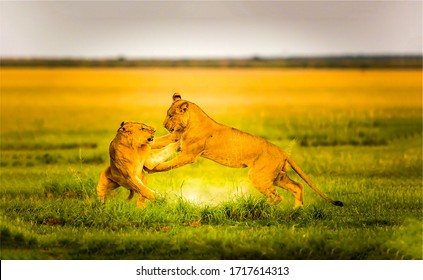 Two lioness play on savannah