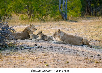 Two lionesses with two cubs laying down resting