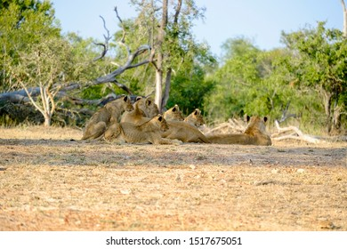 Two lionesses with four cubs laying down resting