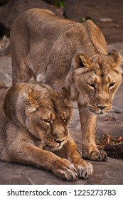 two lionesses - girlfriends. The lioness is a strong and beautiful animal, demonstrates emotions.