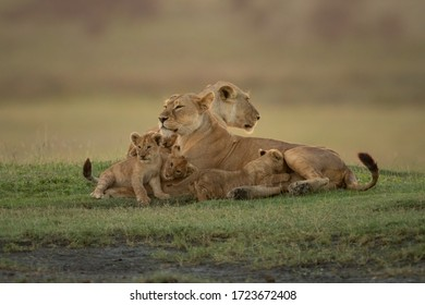 Two lionesses lie with cubs on grass