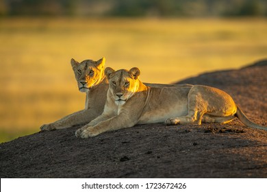 Two lionesses lie on bank at dawn