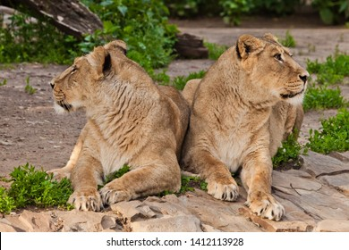 two lionesses are looking in different directions, the quarrel of girls friends. Two lioness girlfriends are big beautiful cats on a background of greenery.