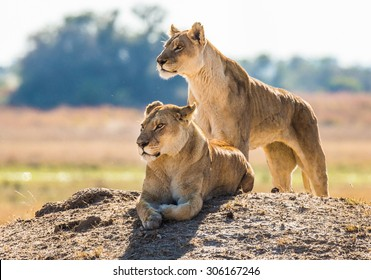 Two lionesses on the hill. Votsvana. An excellent illustration. Africa. Big cats.