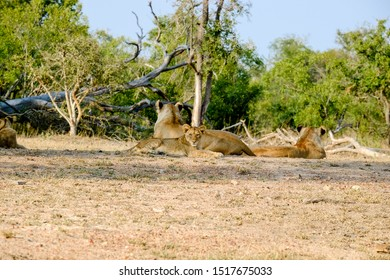 Two lionesses with one cub resting at the end of the day