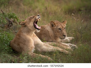 Two lionesses, one yawning with showing teethes, Transvaal or Southeast African lion, Panthera leo krugeri resting in the green savana. Timbavati game reserve, Kruger area, South Africa.