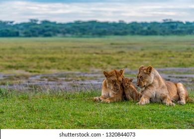 Two lionesses are relaxing together with a young cub in the early morning in the Marsh area, Lake Ndutu, Tanzania. The background landscape is green after the long rains.