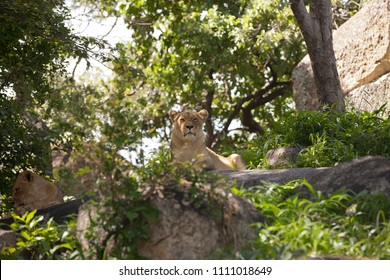 Two lionesses are resting in the shade of trees, in forest of zoo, Zimbabwe, Africa.