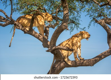 Two lionesses sit in tree looking out