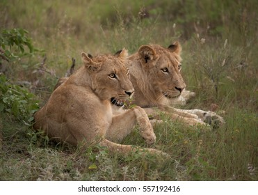 Two lionesses, Transvaal or Southeast African lion, Panthera leo krugeri resting in the green savanna. Timbavati game reserve, Kruger area, South Africa.