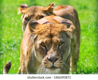 Two lionesses walking in a line in grass with the first one looking straight through the lens at the viewer