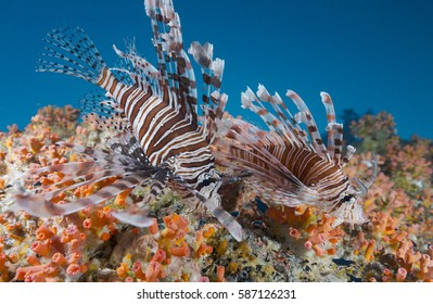 Two lionfish and coral reef