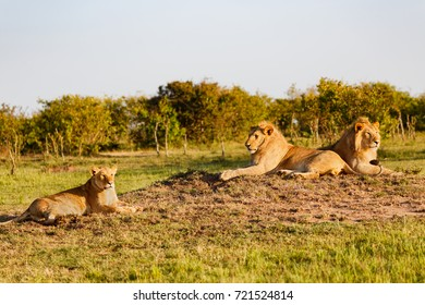Two Lions of double cross pride with a Lioness on a termite hill in Masai Mara, Kenya.