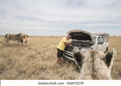 two lions in the dry bushland coming closer to a man standing before his car with open hood; travel concept for dangerous african safari in Botswana, Africa