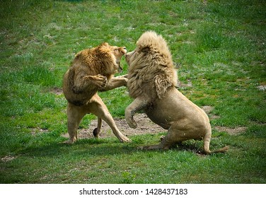 Two lions fighting each other in safari park against green grass background