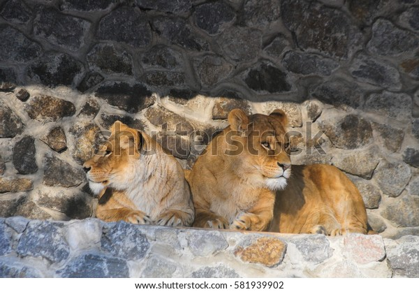 two lions laying in zoo