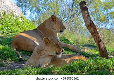 two lions relaxing in the shad