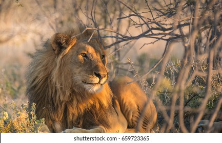 Two lions rest during the mid-day heat under the shade of an acacia tree, Okaukeujo, Etosha National Park, Namibia