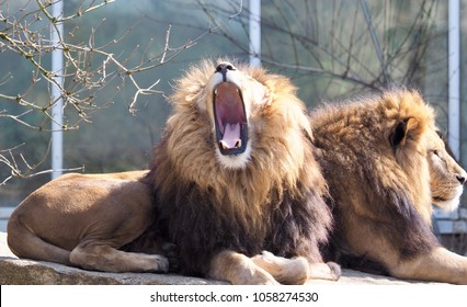 two lions in the sunshine