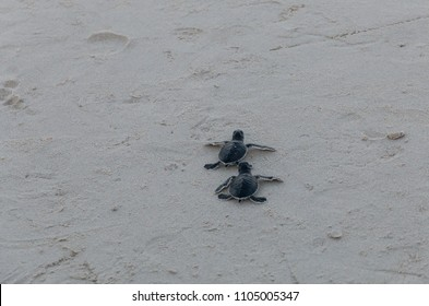 Two little adorable green sea turtle (Chelonia mydas) hatchlings are scrambling into the sea after being released by tourists on Redang Island, Malaysia.
