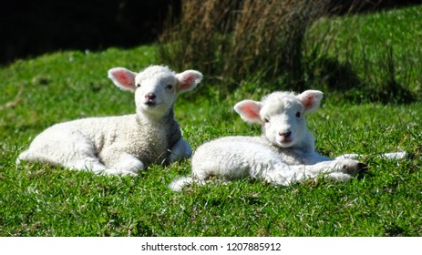 two little baby lambs laying in green grass in meadow in New Zealand, cute sheep picture suitable for Easter or spring theme