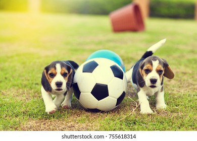 Two little Beagles playing football in garden