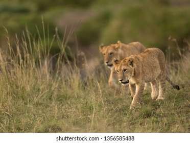 Two little cubs moving on the grasses at Masai Mara