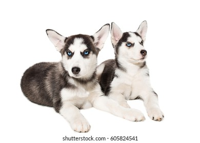 two little cute puppy of Siberian husky dog with blue eyes isolated