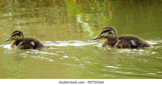 Two little ducklings swimming in a pond. UK