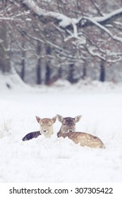 Two Little fallow deer in the snow