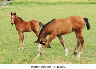 Two little Foals on the green Pasture