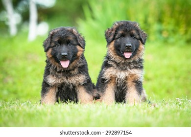 Two little german shepherd puppies sitting on the lawn