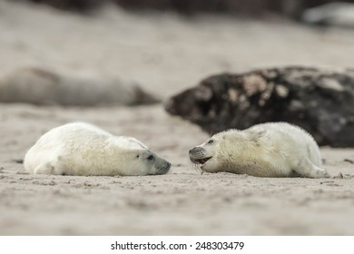 Two little grey seal pups are playing with each other on the beach